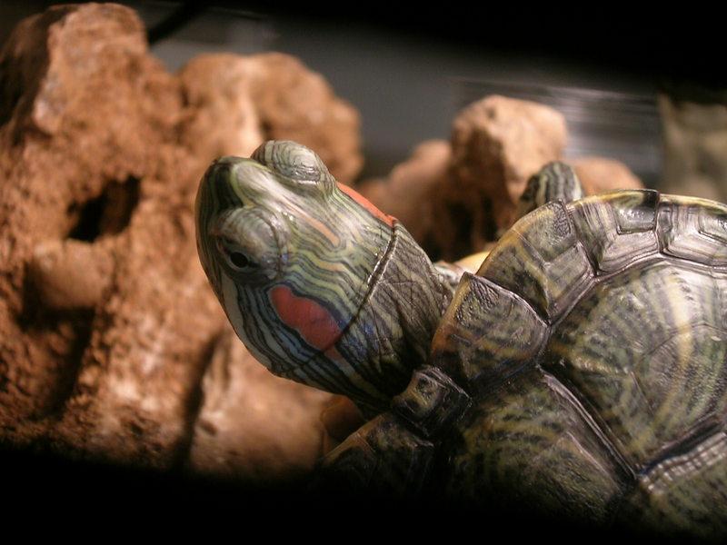 Животные красноухие черепахи